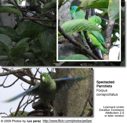 Spectacled Parrotlets