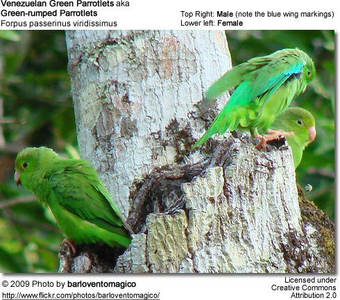 male and female venezuelan green parrotlets