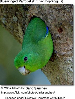 Nesting Blue-winged Parrotlet