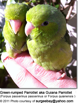 Green-rumped Parrotlets