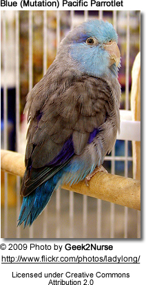Blue Mutation Pacific Parrotlet