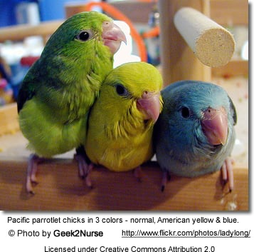 Pacific Parrotlet Mutations
