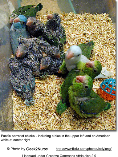 Chicks - Pacific parrotlets