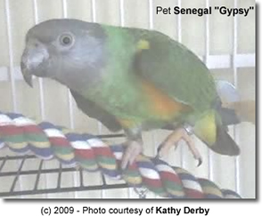 "Pet Senegal ""Gypsy"""