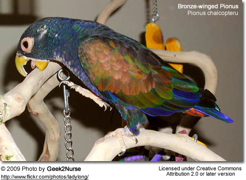 Bronze-winged Pionus Parrot