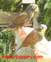 Bronze-winged Pionus