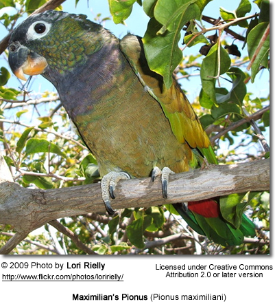 Maximilian's Pionus (Pionus maximiliani) - also often referred to as Scaly-headed Parrot