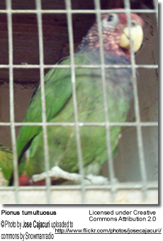 Plum-crowned Parrot