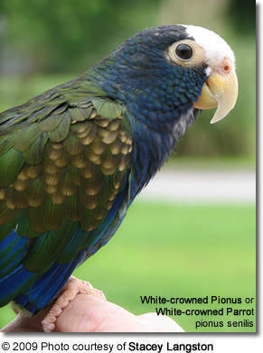 White-crowned Pionus