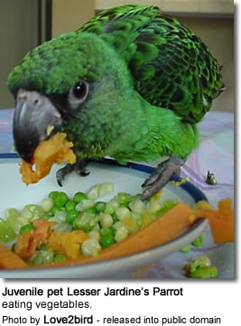 Juvenile pet Lesser Jardine's Parrot eating vegetables.