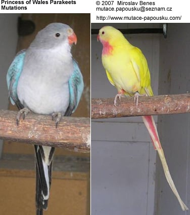 Princess Parrot Mutations
