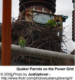 Quaker Parrot Nesting on Electric Grid
