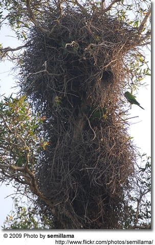 Quakers or Monk Parrots nesting on a tree