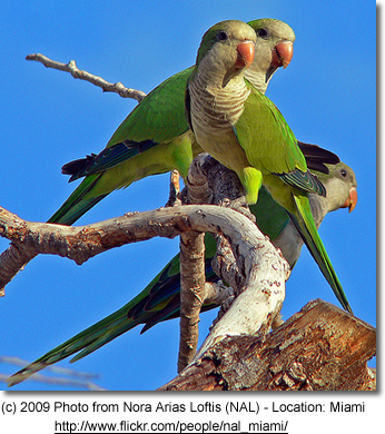 Quaker Parrots in Miami