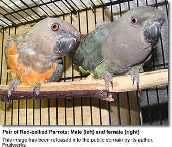 Red-bellied Conure