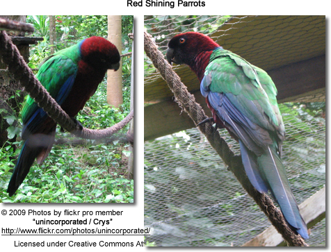 Red Shining Parrot