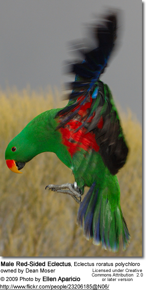 Red-Sided Eclectus (Eclectus roratus polychloros)