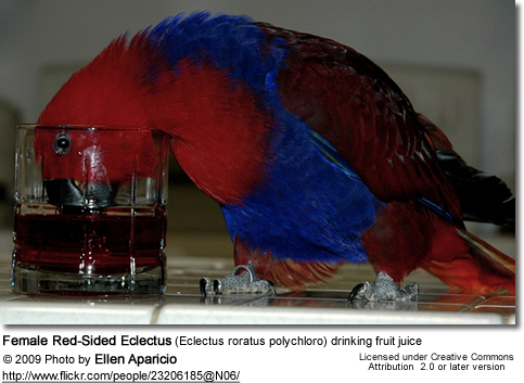 Female Red-Sided Eclectus (Eclectus roratus polychloro) drinking fruit juice