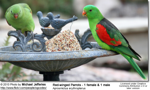 Aprosmictus Red Winged Parrots Beauty Of Birds