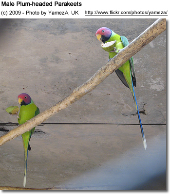 Blossom-headed Parakeets