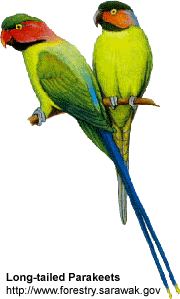 Long-tailed Parakeets