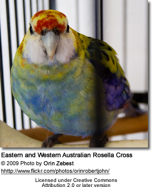 Eastern and Western Rosella cross