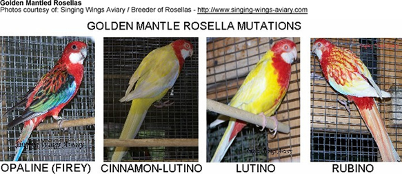 Golden Mantled Rosella Mutations