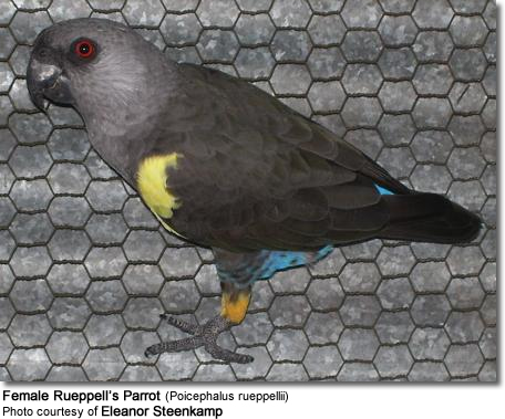 Rueppell's or Ruppel's Parrots