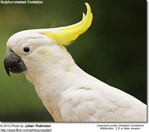 What Is Being Done To Save The Yellow Crested Cockatoo 9