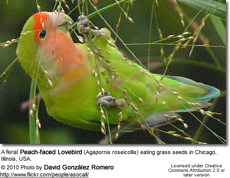 A feral Peach-faced Lovebird (Agapornis roseicollis) eating grass seeds in Chicago, Illinois, USA.