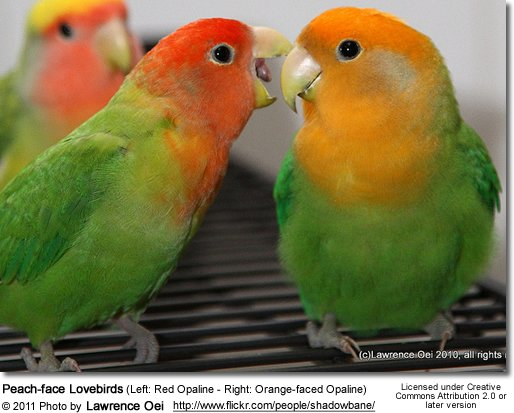 Left: Red Opaline - Right: Orange-faced Opaline Mutations