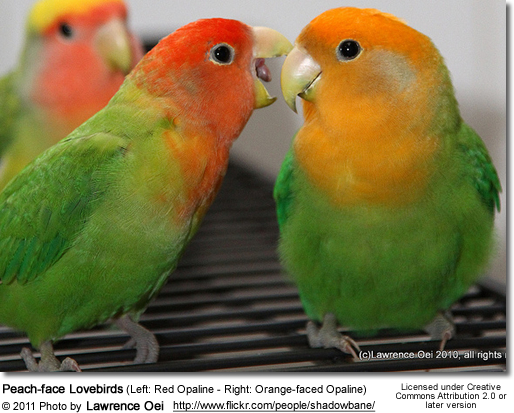 Peach-face Lovebirds (Left: Red Opaline - Right: Orange-faced Opaline Mutations