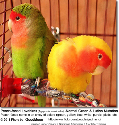 Peach-faced Lovebirds (Agapornis roseicollis) -Normal Green and Lutino Mutation