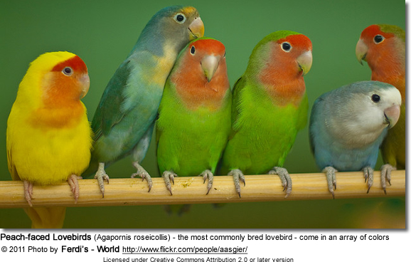 Peach-faced Lovebirds (Agapornis roseicollis) - the most commonly bred lovebird - come in an array of colors
