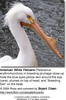 "American White Pelicans (Pelecanus erythrorhynchos) in breeding plumage close-up. Note the blue eyes,yellow skin around the eye(cere), plumes on top of head, and ""Breeding Sail"" on the beak."