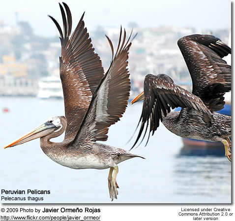 Peruvian Pelican, Pelecanus thagus, in flight