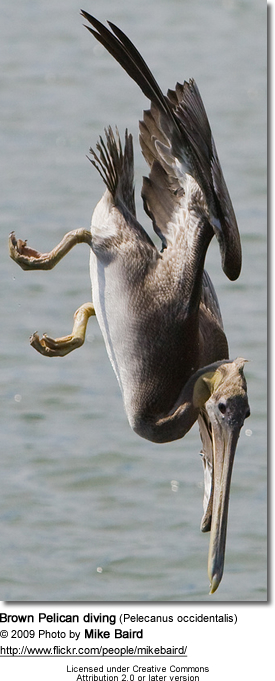 Diving Brown Pelican