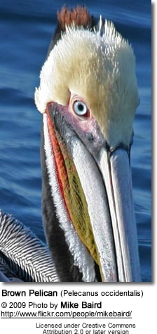 Brown Pelican (Pelecanus occidentalis) - face detail