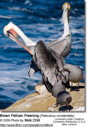 Brown Pelican Preening (Pelecanus occidentalis) - preening