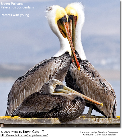 Brown Pelican (Pelecanus occidentalis) - parents with chick