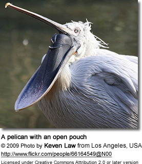 A pelican with an open pouch