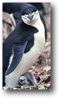 Chinstrap Penguins