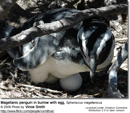 Magellanic penguin in burrow with egg, Spheniscus magellanicus