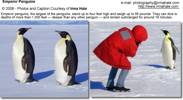 Emperor penguin size comparison - photo#25