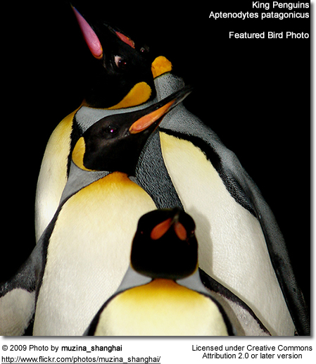 Featured Bird Photo - King Penguin