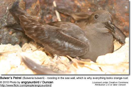 Bulwer's Petrel (Bulweria bulwerii) - roosting in the sea wall, which is why everything looks orange-rust