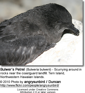 Bulwer's Petrel (Bulweria bulwerii) - Scurrying around in rocks near the coastguard landfill. Tern Island, Northwestern Hawaiian Islands.