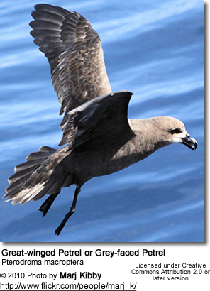 Great-winged Petrel or Grey-faced Petrel, Pterodroma macroptera