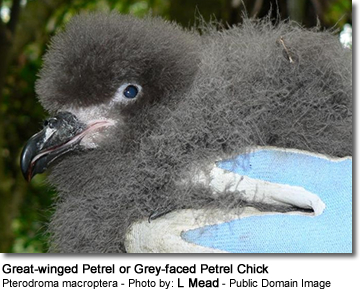 Great-winged Petrel or Grey-faced Petrel Chick