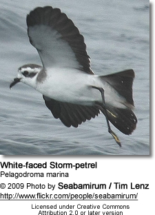 White-faced Petrel
